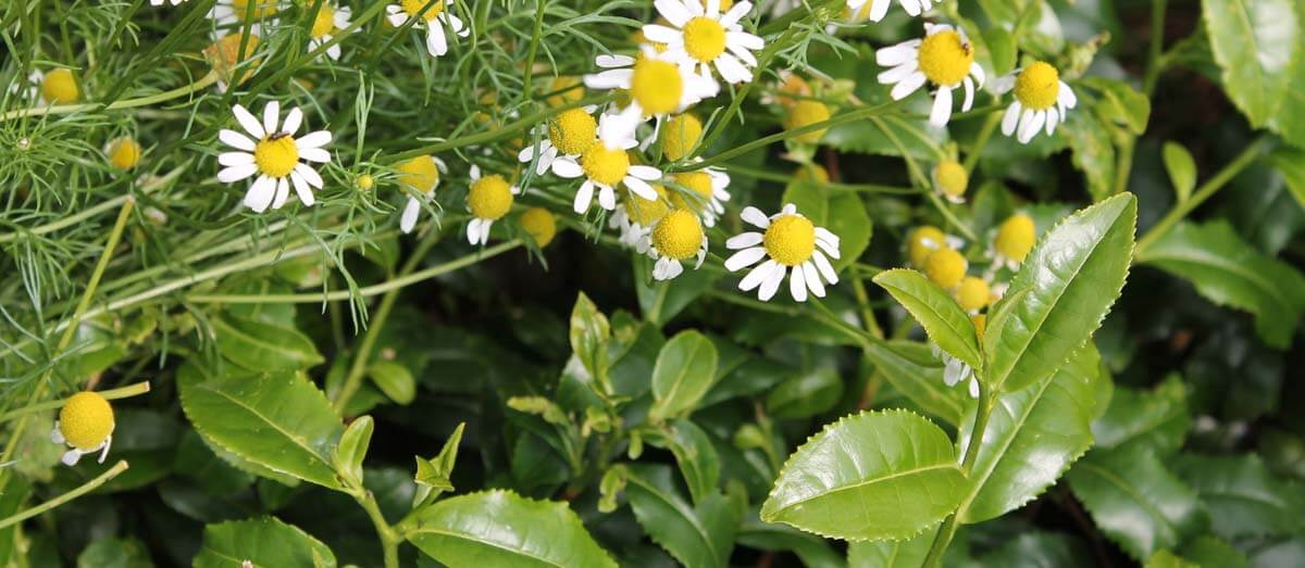 tea growing with camomile