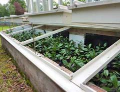 tea plants cold frame